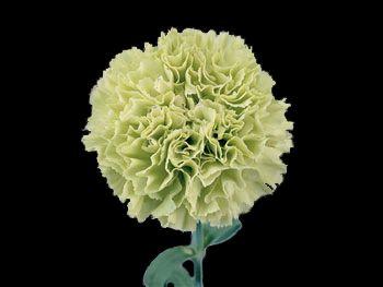 Prado Refeit HFC Caryophyllaceae