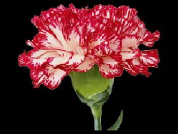 Shubert Caryophyllaceae