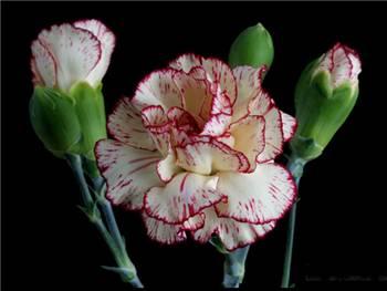 Solana Caryophyllaceae