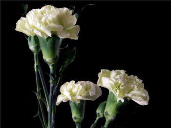 Verdero Caryophyllaceae