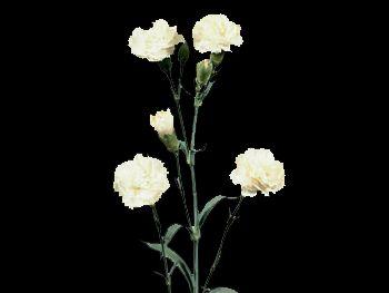 White Princessa HFC Caryophyllaceae