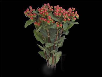 Wild Romance Clusiaceae