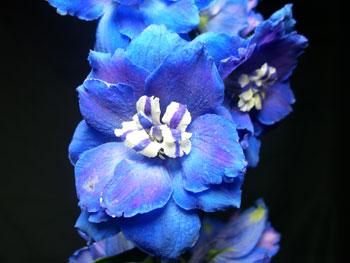 Blue Delphinium - Hybrid