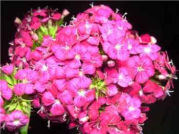 Gypsy Burgundy Dianthus
