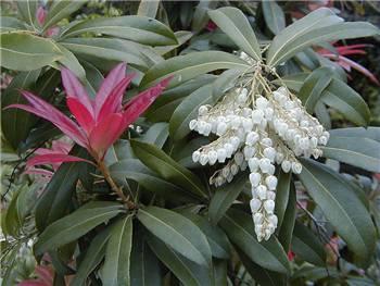 Wakehurst Ericaceae