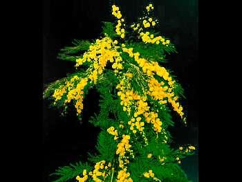 Acacia Flowering Fabaceae