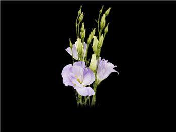 Bi Lavender Gentianaceae