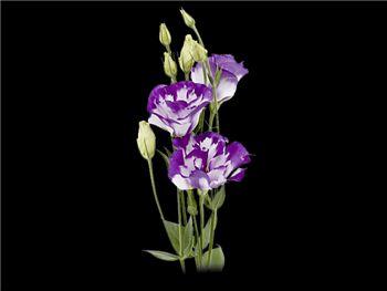 Bi Purple Gentianaceae