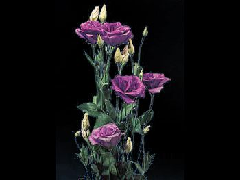 Echo Purple Gentianaceae