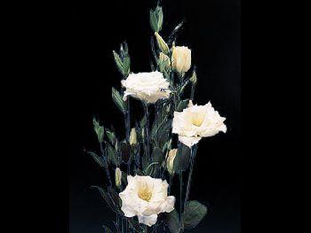 Echo White Gentianaceae