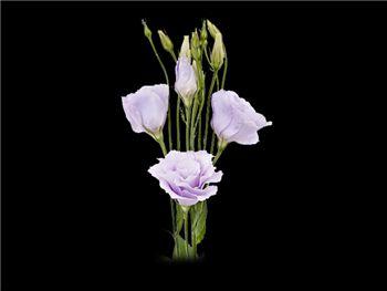 Lavender Gentianaceae