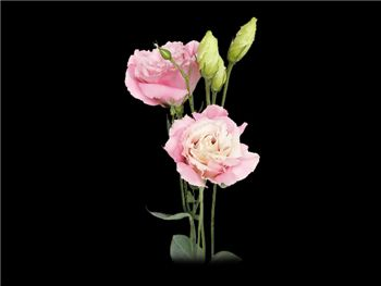 Pink Gentianaceae