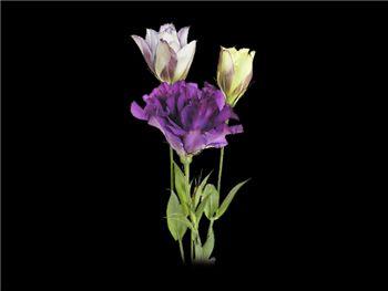 Purple Gentianaceae