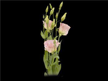 Rose Bi Pink Rim Gentianaceae