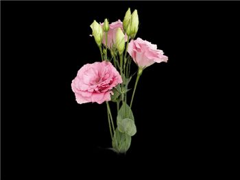 Rose Gentianaceae