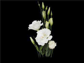 White Gentianaceae
