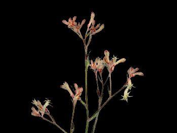 Mini Ranger HFC Haemodoraceae