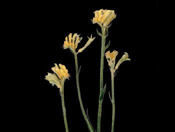 Mini Sunlight HFC Haemodoraceae