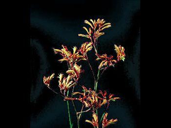 Regal Claw Haemodoraceae
