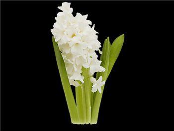 Aioles Hyacinthaceae