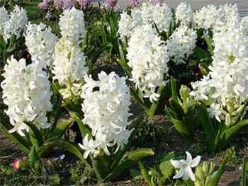 Aiolos Hyacinthaceae
