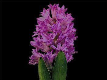 Anna Liza Hyacinthaceae