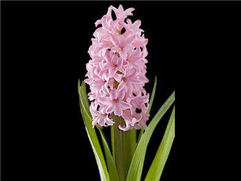 Anne Marie Hyacinthaceae