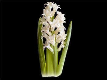 Antartica Hyacinthaceae