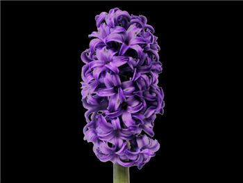 Atlantic Hyacinthaceae