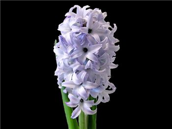 Blue Giant Hyacinthaceae