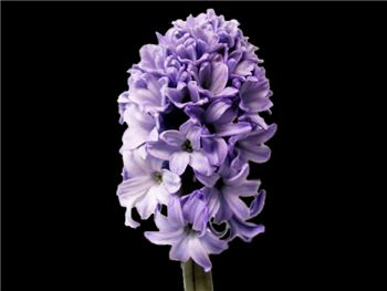 Delft Blue Hyacinthaceae