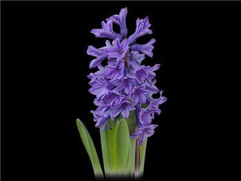 Moody Blue Hyacinthaceae