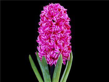 Vuurbaak Hyacinthaceae