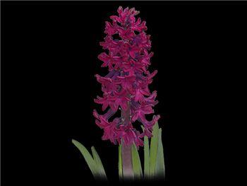Woodstock Hyacinthaceae