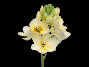 Dubium Cream Hyacinthaceae