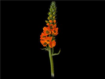 Dubium Orange Hyacinthaceae