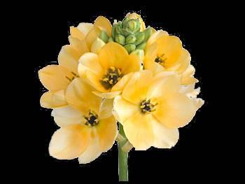 Dubium Peach Hyacinthaceae