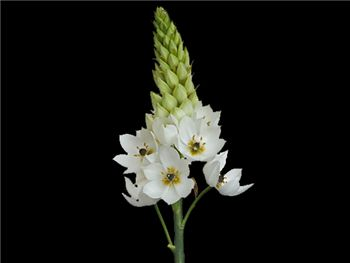 White Hyacinthaceae