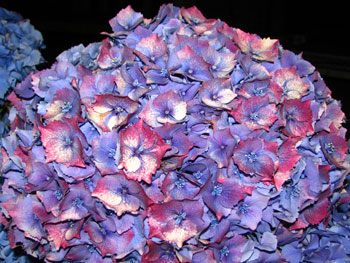 Antique Blue / Pink Hydrangea