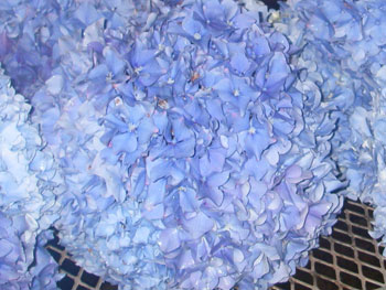 Extra Large Blue Hydrangea