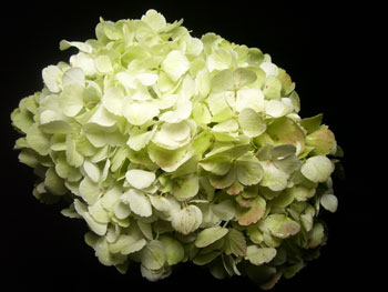 Large Lime Green Hydrangea