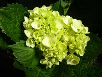 Medium Green Hydrangea