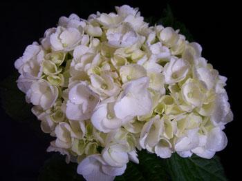 Medium White Hydrangea