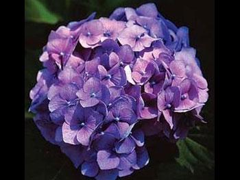 Large Purple Hydrangea