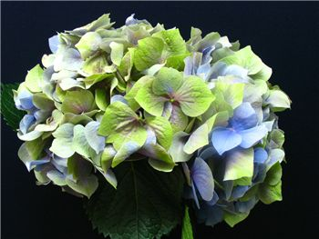 Antique Blue Green Hydrangeaceae