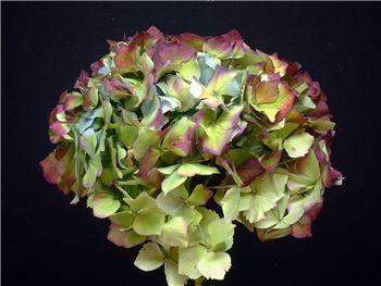 Antique Blue Purple Hydrangeaceae
