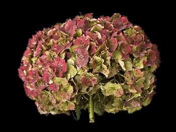 Antique Hydrangeaceae