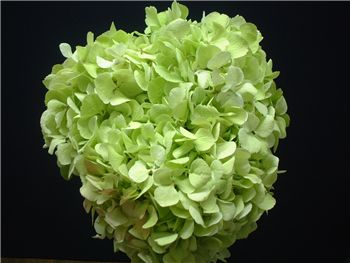 Antique Light Green Hydrangeaceae