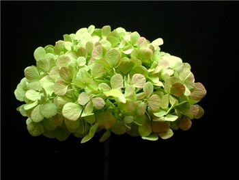 Antique Pink Green Hydrangeaceae
