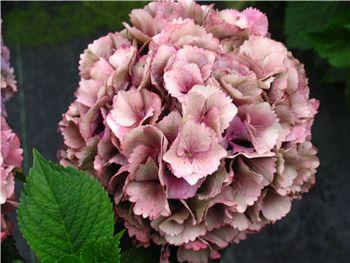 Antique Pink Hydrangeaceae
